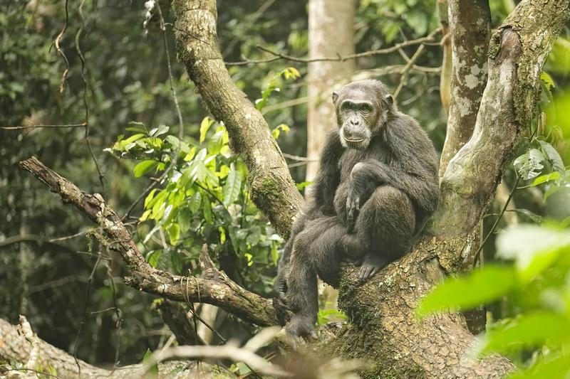 Chimpanzee At Rest II