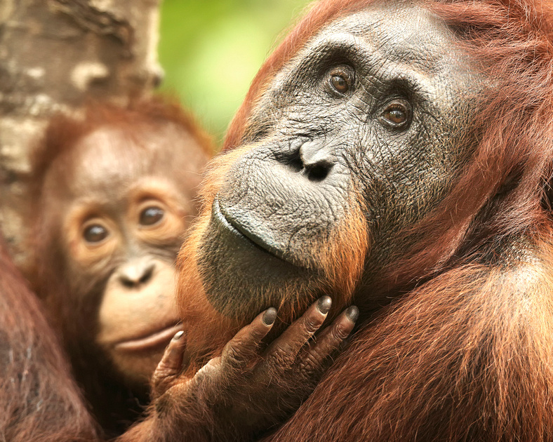 Female Orangutan (Pongo pygmaeus) With Baby