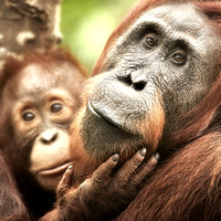 Female Orangutan with Baby in Tanjung Puting National Park
