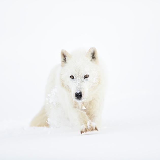 The Arctic Wolf's Pursuit