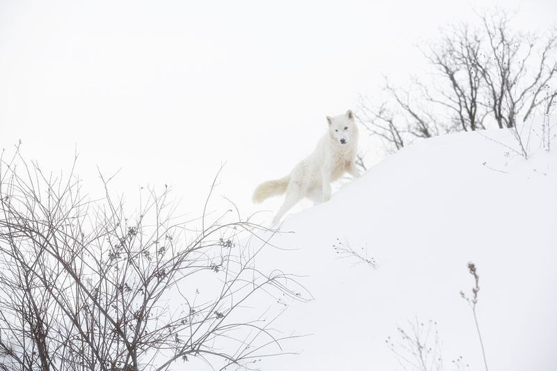 Arctic Wolf On The Prowl