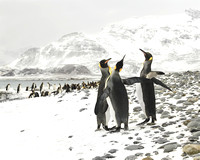 King Penguins In Island Of South Georgia