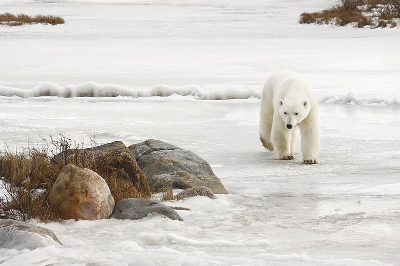 Polar Bear On West Shore Of Hudson Bay, Manitoba, Canada