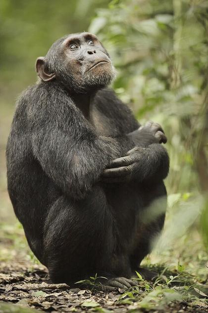 Chimpanzee Sitting In Kibale National Park, Uganda