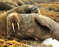 Walruses In Archipelago of Svalbard