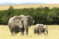 Female African Elephant With Baby, Maasai Mara National Park, Kenya