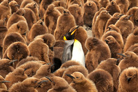 King Penguin Guarding Chick Colony, Salisbury Plain, Island of S