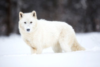 Arctic Wolf in Pose
