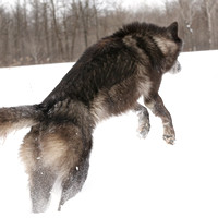 The Lunge of the Black Wolf