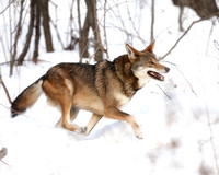 The Rare Red Wolf on the Run