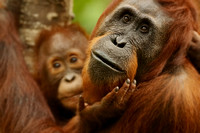 Female Orangutan With Baby