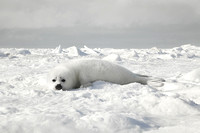 Baby Harp Seal On Ice-Floe, Gulf Of St. Lawrence, Canada