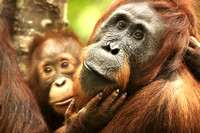 Female Orangutan With Baby, Tanjung Puting National Park, Borneo