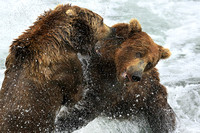 Kodiak Bears Tussle In Brooks River, Katmai, Alaska, USA