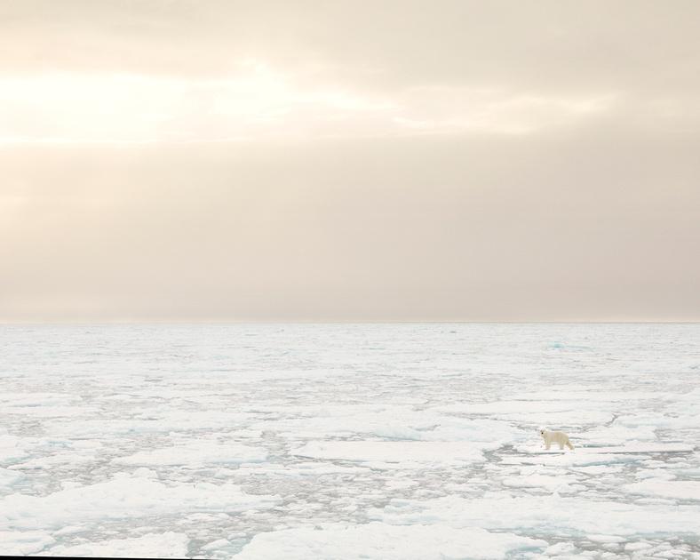 Polar Bear (Ursus maritimus) in Arctic