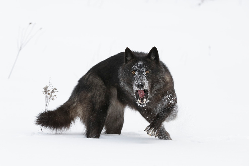 The Growl of the Black Wolf