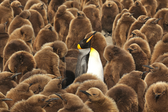 King Penguin Guarding Chick Colony, Salisbury Plain, Island Of South Georgia