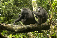 Chimpanzees Grooming in Kibale National Park, Uganda