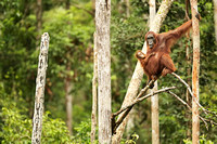 Bornean Orangutans in Tanjung Puting National Park, Borneo