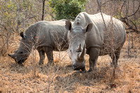 White Rhinoceros In Kruger National Park, South Africa